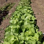 Lettuces in the kitchen garden